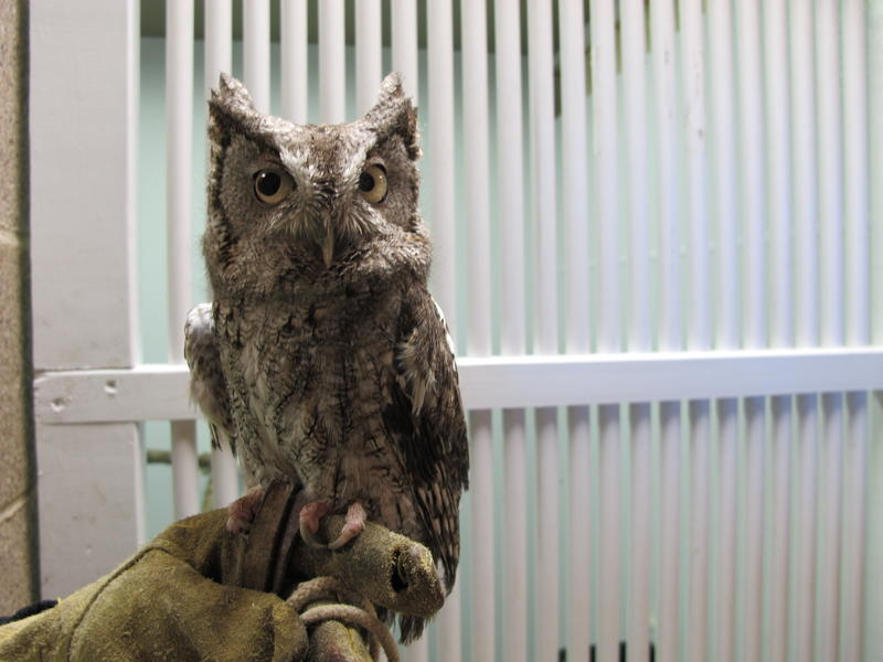 Darwin the screech owl has a little attitude. He thinks he's bigger than he really is. At about 7 inches tall, he's here because he was exposed to West Nile Virus when he was young, so his feathers didn't fully develop.