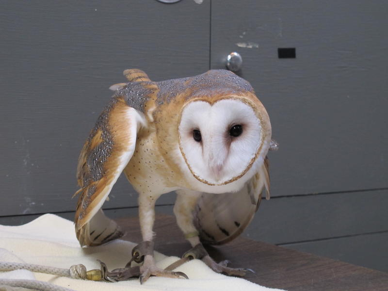 Legacy is a barn owl, which is a threatened species in Mo. She is in a defensive pose, puffed up, making herself appear bigger than she really is and making a warning call, because she thinks the microphone is a rat or mouse.