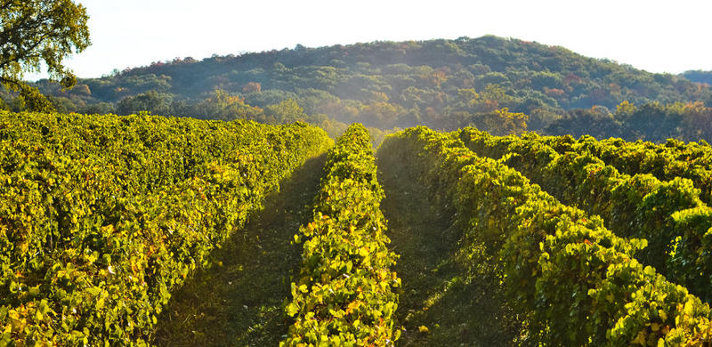 Grape orchards on the Les Bourgeois Vineyards