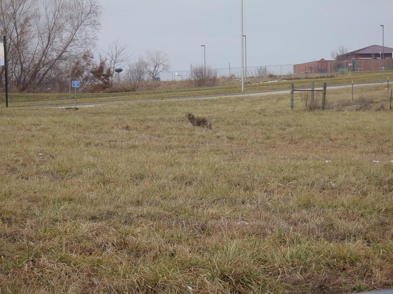 This coyote was found north of a the River in a subdivision near a school.