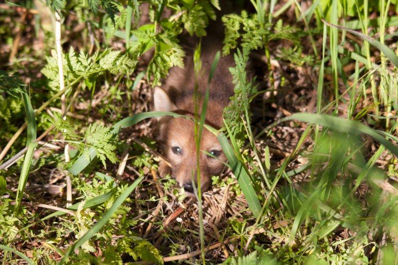 John McConnell stumbled across a coyote den on a hike near his home in Shawnee, Kansas.