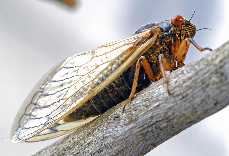 Unlike the green hued annual cicada, the periodical cicada has distinctive warm toned eyes and appendages.