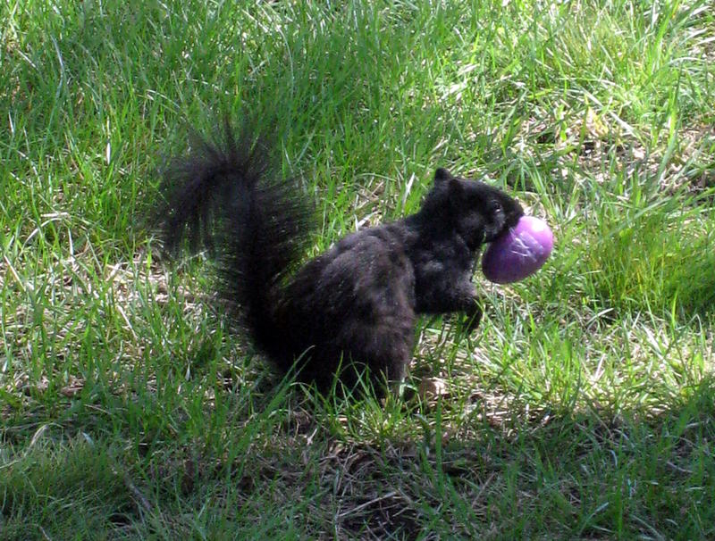 The eastern gray black squirrel is common in Marysville, Kansas. This one was  caught stealing Easter eggs at an annual egg hunt.