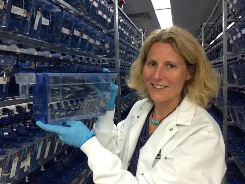 Zebrafish are the focus of Dr. Tatjana Piostrowski's research into restoring human hearing loss.