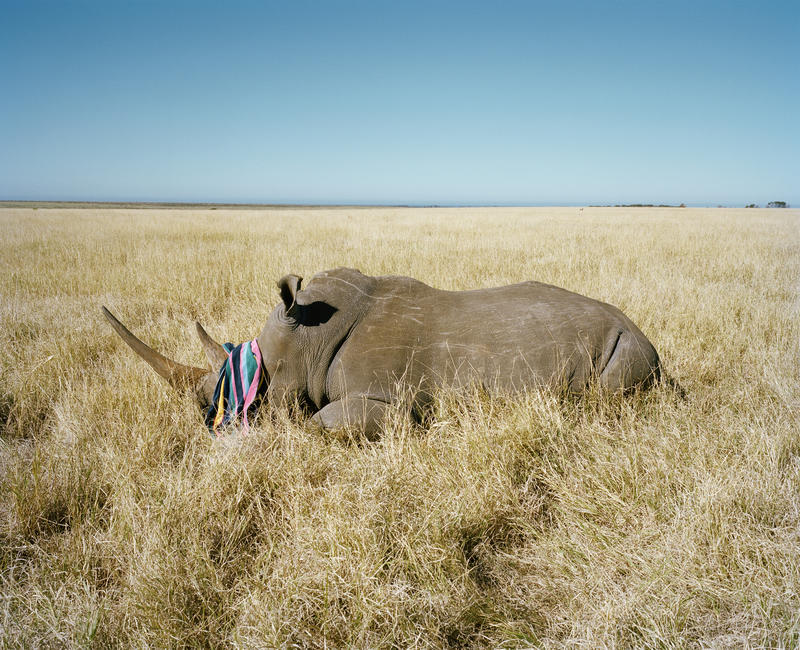 'Rhino with beach towel #II,' game farm, Northern Cape, South Africa.