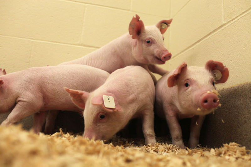 Researchers at the University of Missouri and Kansas State University recently developed pigs resistant to a deadly virus that costs the U.S. pork industry millions annually.