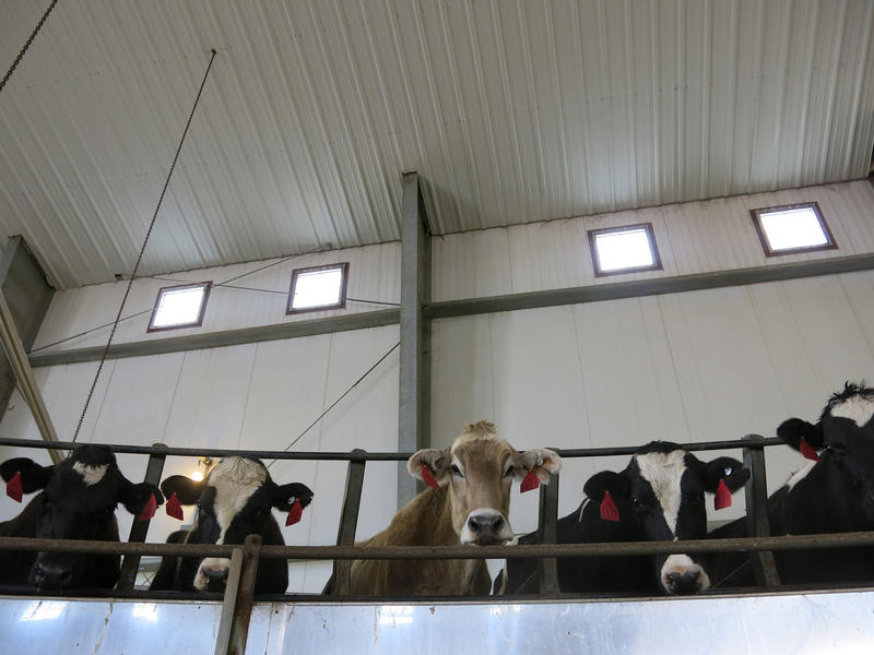 A curious Brown Swiss dairy cow peers over Casey DeHaan's rotary milking parlor outside Ault, Colorado.