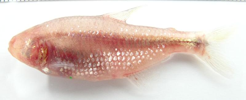 The Mexican cavefish has lost both pigmentation and eyesight during its millennia of evolution underground.