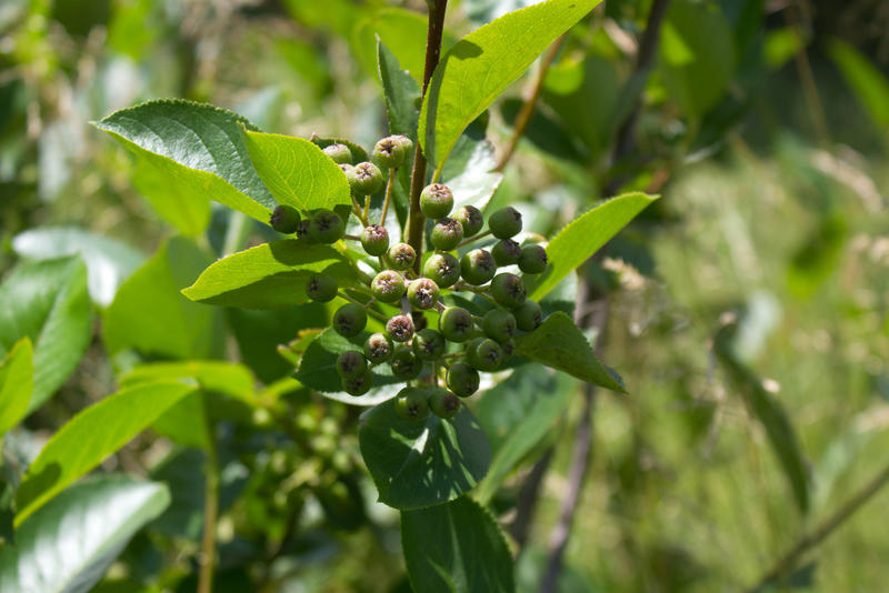 The native black chokeberry is touted for its health benefits, leaving some Midwest growers hoping to capitalize.