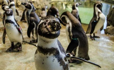 Some of the penguins at the Kansas City Zoo will hang out outside Saturday morning.