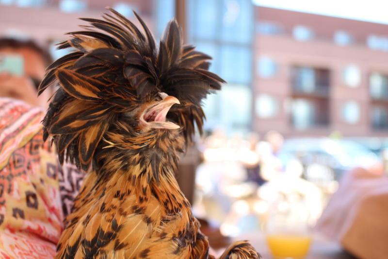 Pasty, a Laced Polish hen, took home the award for Prettiest Plumage.