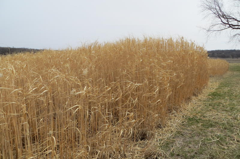 Miscanthus, shown growing in Iowa, is a perennial grass that could help keep nutrients out of waterways.