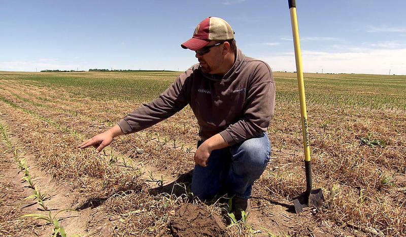 Nebraska farmer Noah Seim evaluates a corn field where cover crops were grown between rows in an effort to improve the quality of both the soil on his farm and water runoff.