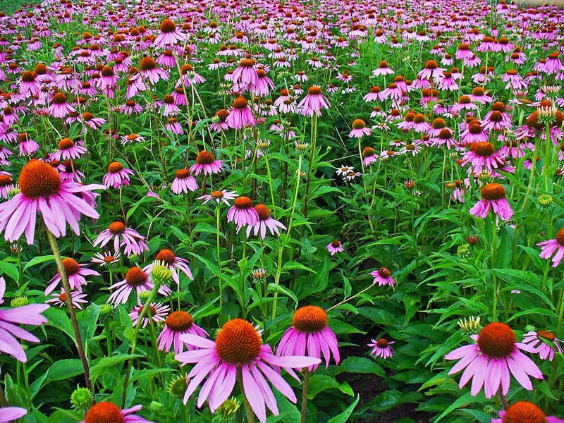 Echinacea purpurea thrives in the Midwest and has a long history of medicinal use.