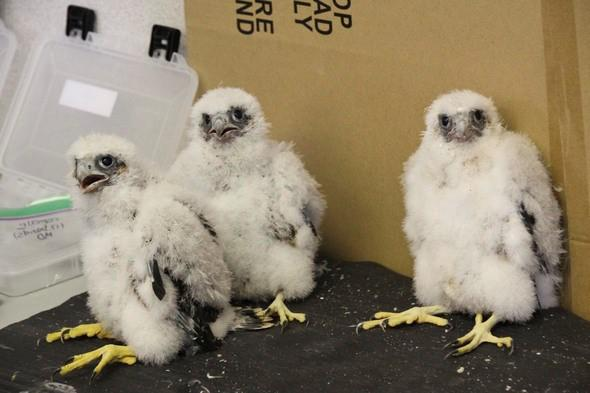 On May 18, biologists with the Missouri Department of Conservation put leg bands on these three young peregrine falcons.