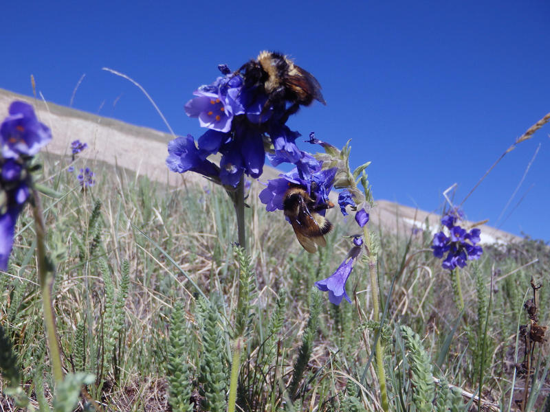 Bumblee queens visit flowers of the alpine skypilot. These large bees have a distinctive flightz buzz, the bee version of a cargo plane flying from flower to flower.