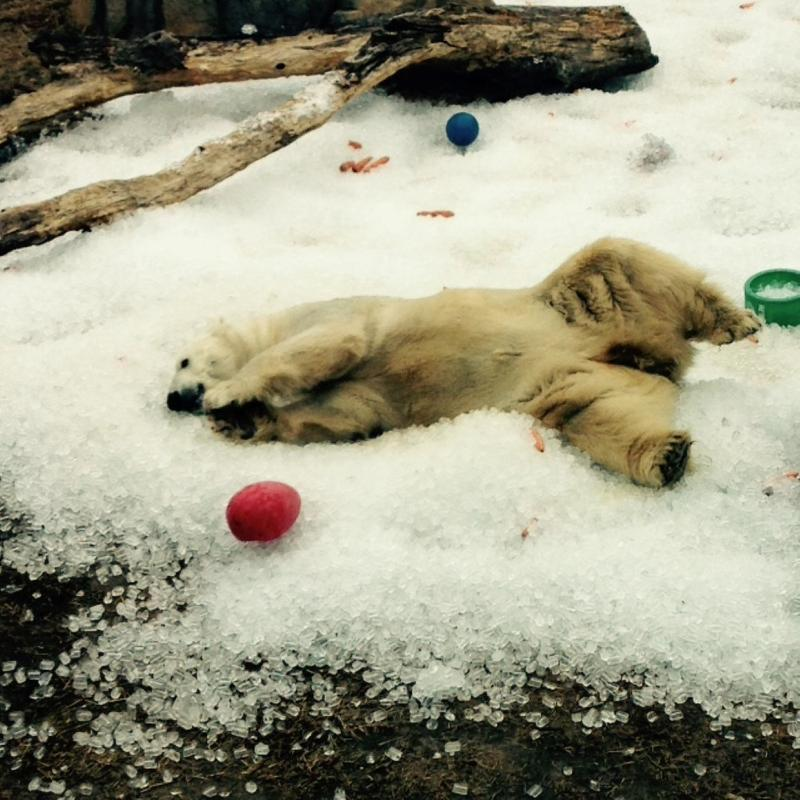 Over the weekend, polar bear Berlin rolled around in 4 tons of ice to keep cool at the Kansas City Zoo.