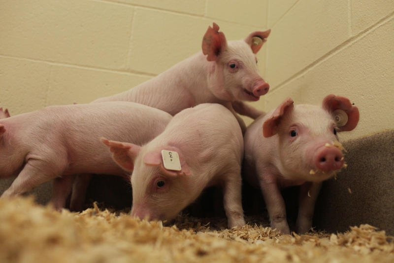 Using CRISPR technology, researchers at the University of Missouri and Kansas State University developed pigs that are resistant to a deadly virus.