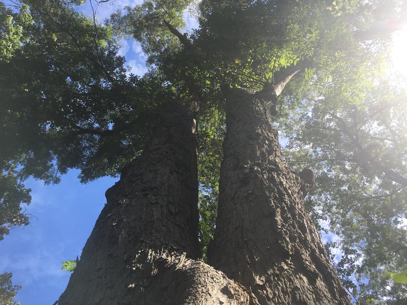 This is the new Kansas State Champion Pecan tree. It beat out another tree within the same grove of old growth forest by by 6 feet. It's 130 feet tall and was recorded as a tall tree by explorers Lewis and Clark in 1804, making it well over 200 years old.