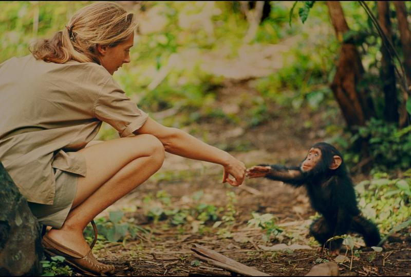 More than 100 hours of film, which sat in the archives of the National Geographic Society five decades, have been pieced together to illustrate Jane Goodall's ground-breaking work with chimpanzees.