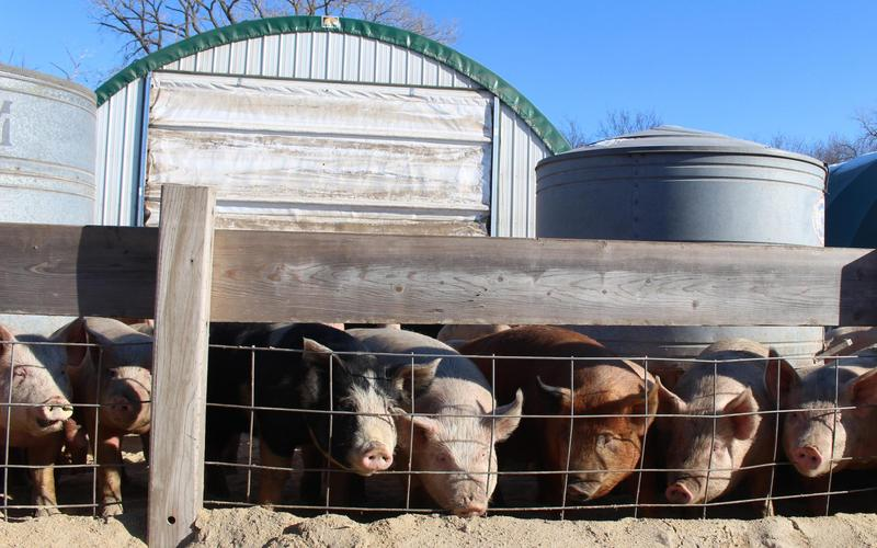 Hogs bask in sunshine on a cold day in eastern Nebraska last month. The Delaney family raises these hogs plus cattle and sheep, and they also grow corn, soybeans and hay.