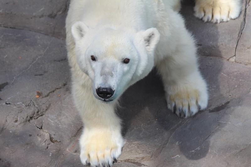 Bam Bam, a 30-year-old female bear, is coming to Kansas City from Omaha, Nebraska.