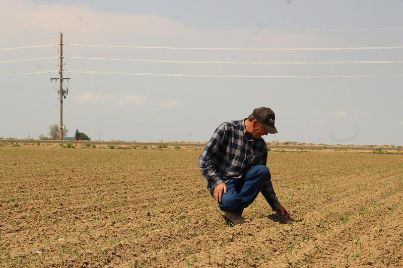 Steve Kelly among the rows of sugar beets on his Greeley, Colorado, farm. He says GMO seeds allow him to grow more beets on less land.