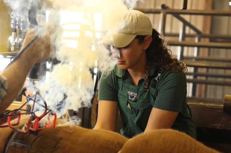 Veterinarian Karen Chandler quickly castrates young male calves while others carry out branding and vaccinations in rural Colorado.