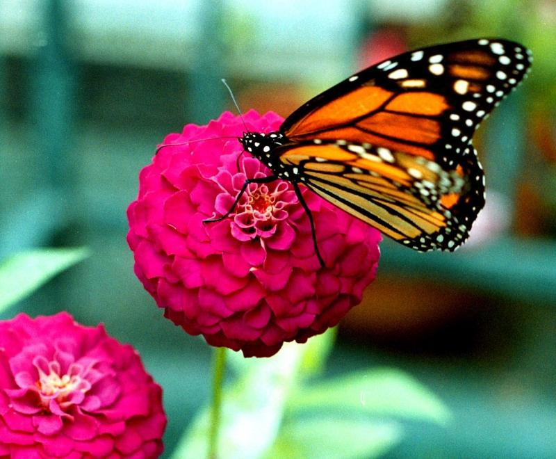 A Monarch butterfly on a zinnia bloom. Powell Gardens is celebrating its Festival of Butterflies this weekend in Kansas City.