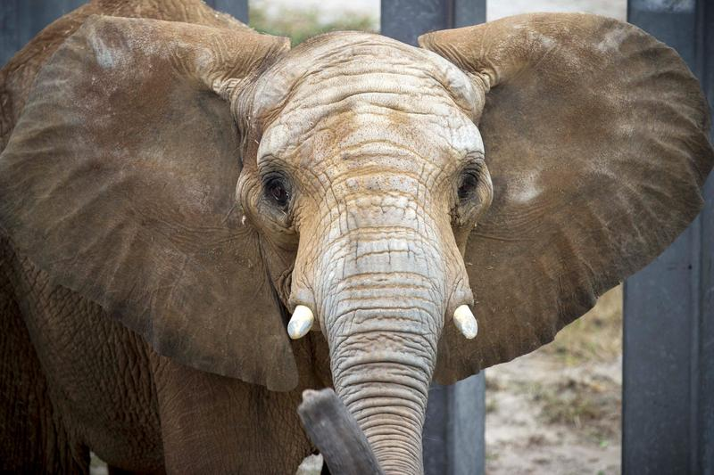One of the Kansas City Zoo's elephants.
