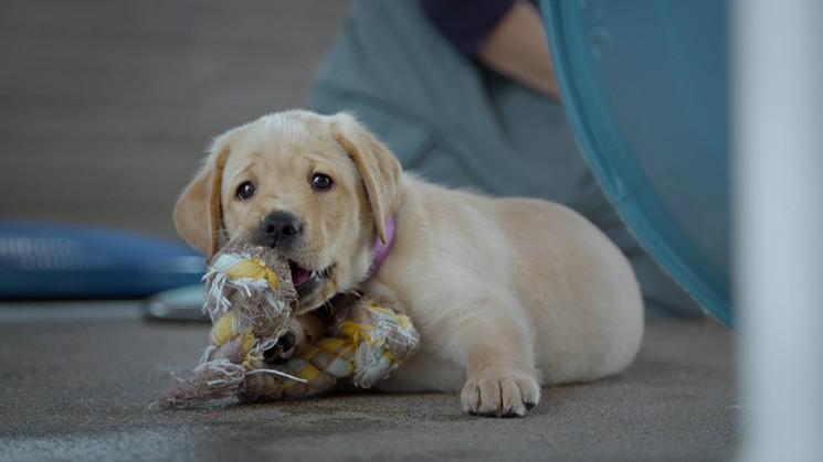 This puppy, Primrose, will grow up to be a guide dog. Follow her journey in 'Pick of the Litter.'