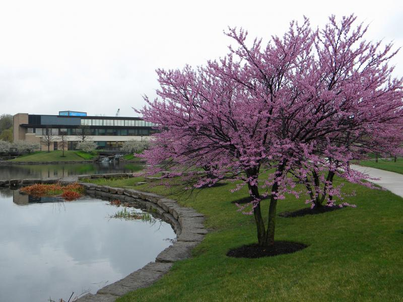 Redbuds bloom along Brush Creek