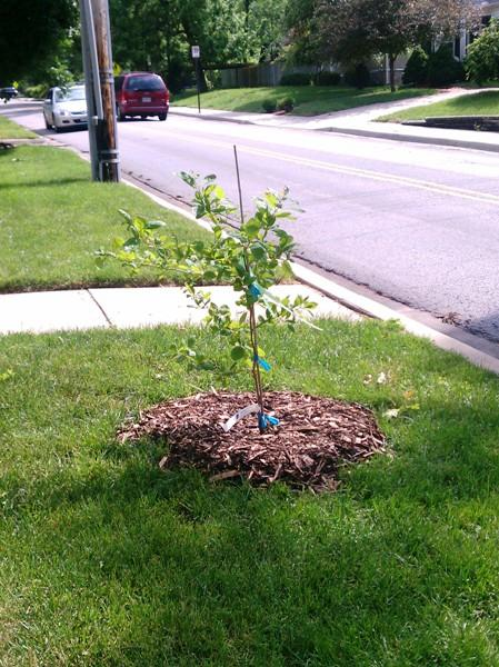 Donated new tree for pilot program in Brookside