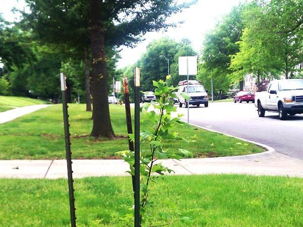 Freshly planted tree on Meyer Blvd