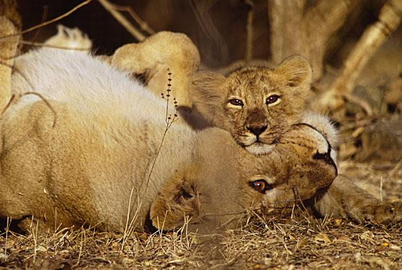 Asiatic lioness and cub, Sasan Gir, India: This teak forest in Gujarat, western India, is the last domain of Asiatic lions in the world. There are only 300 left, making it one of the most vulnerable species - and extremely difficult to photograph