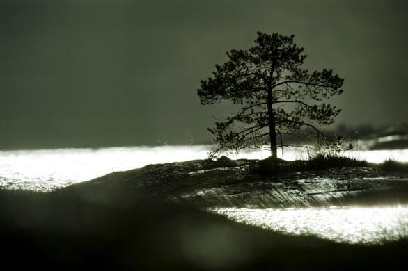 Pine tree, Stockholm archipelago, Sweden