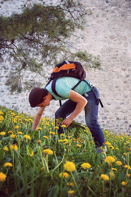 Picking Dandelion Greens for Salad