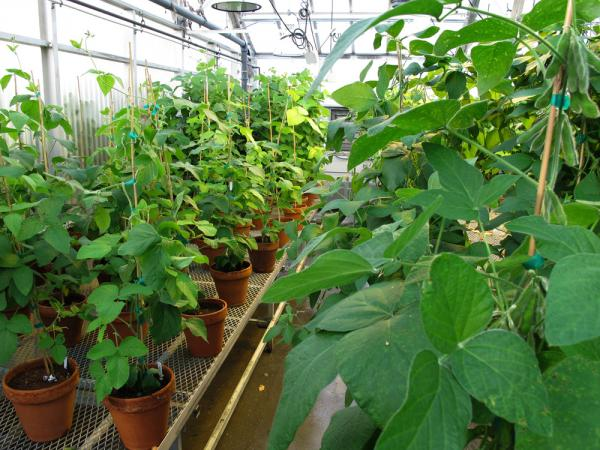 Potted soybean plants line the tables in a research greenhouse at the University of Nebraska Lincoln. Researchers are trying to understand the ways different genes control plant growth.