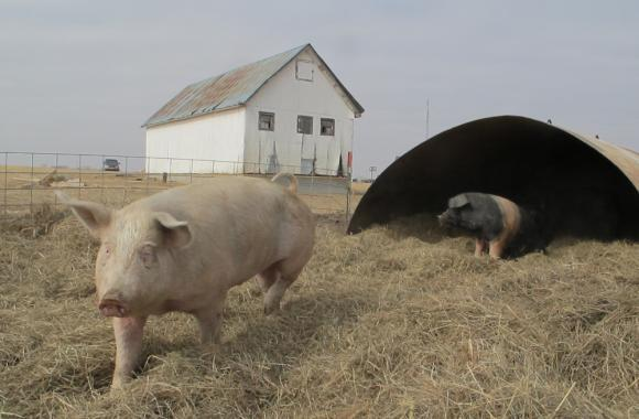 A proposal in the Nebraska Legislature would allow meatpacking companies operating in the state to own hogs from birth to slaughter, a change that some say would take market share from farmers.