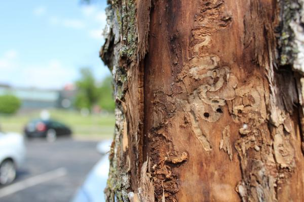 Small holes signify emerald ash borer damage in a dying tree.
