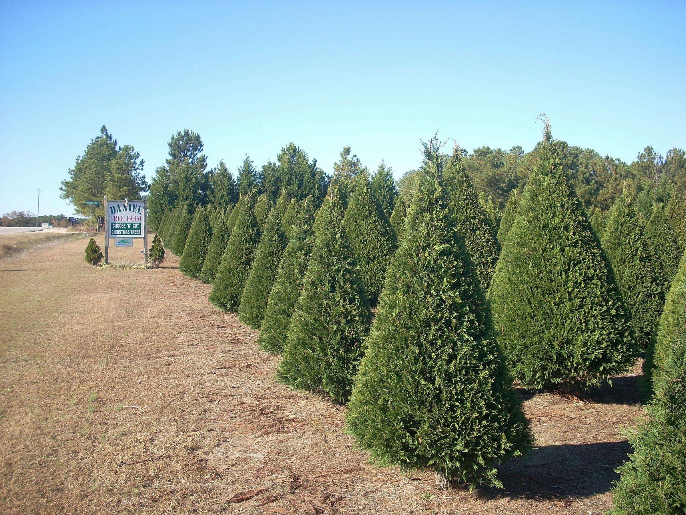 drought causes challenges for kansas christmas tree farmers - Christmas Tree Farming