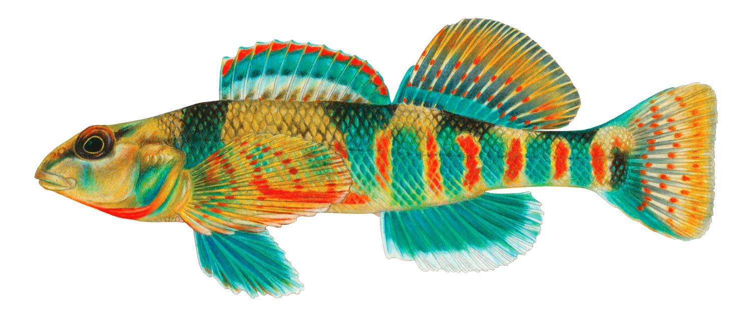 Freshwater fish kansas city - This Missouri Fish As Rendered In Colored Pencil By Kansas City S Renowned Fish Artist Is A Missouri Saddled Darter Darters Are Fast Hence The Name