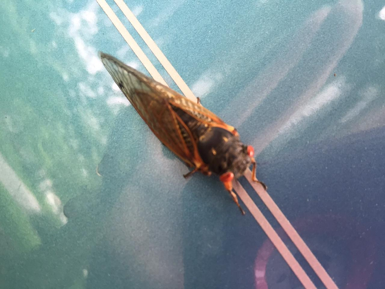 Why You Re Hearing 17 Year Cicadas In Kansas City Suburbs