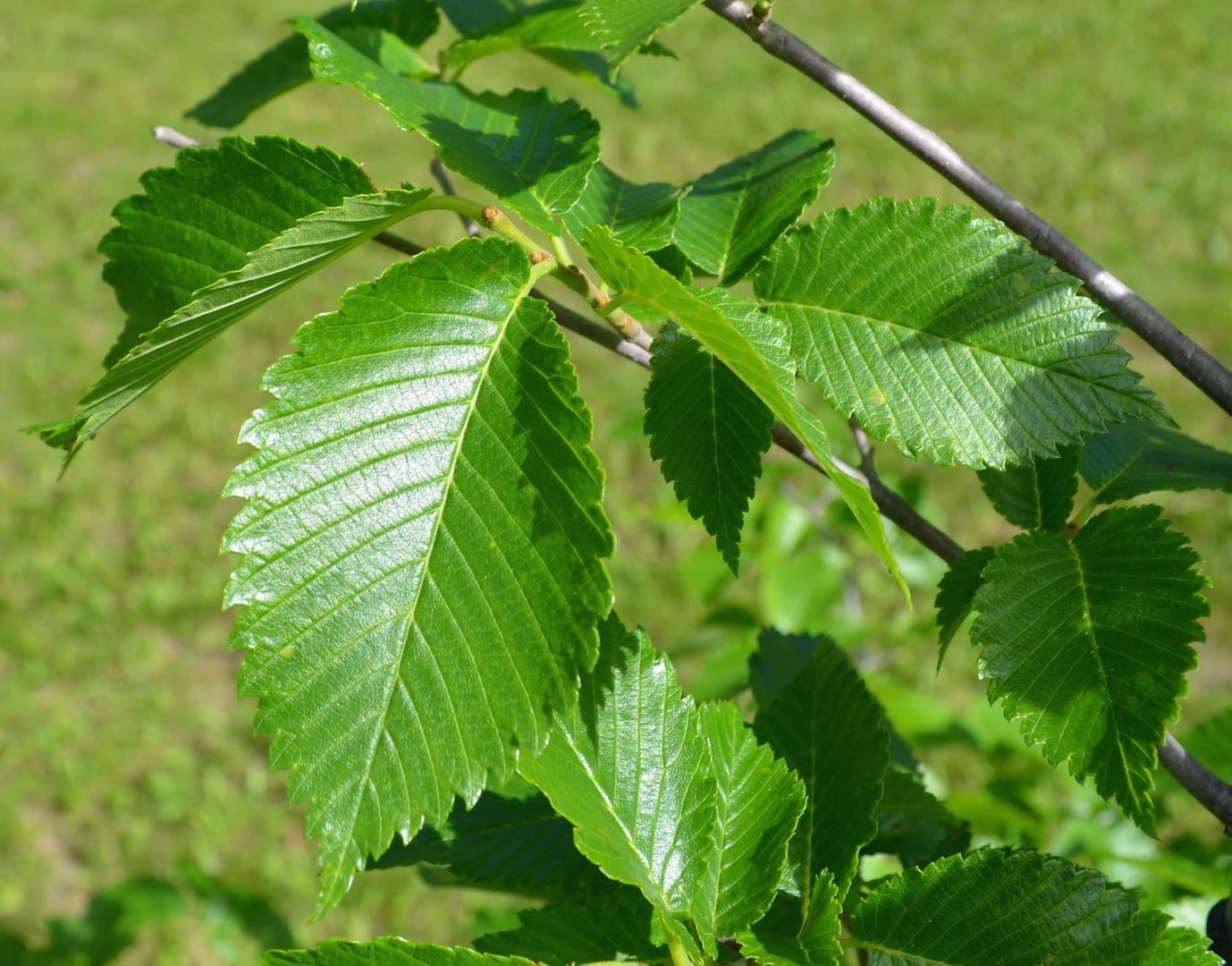 Tree leaves of kansas - Doctors Warn Of Another Early Intense Spring Allergy Season In Kansas City