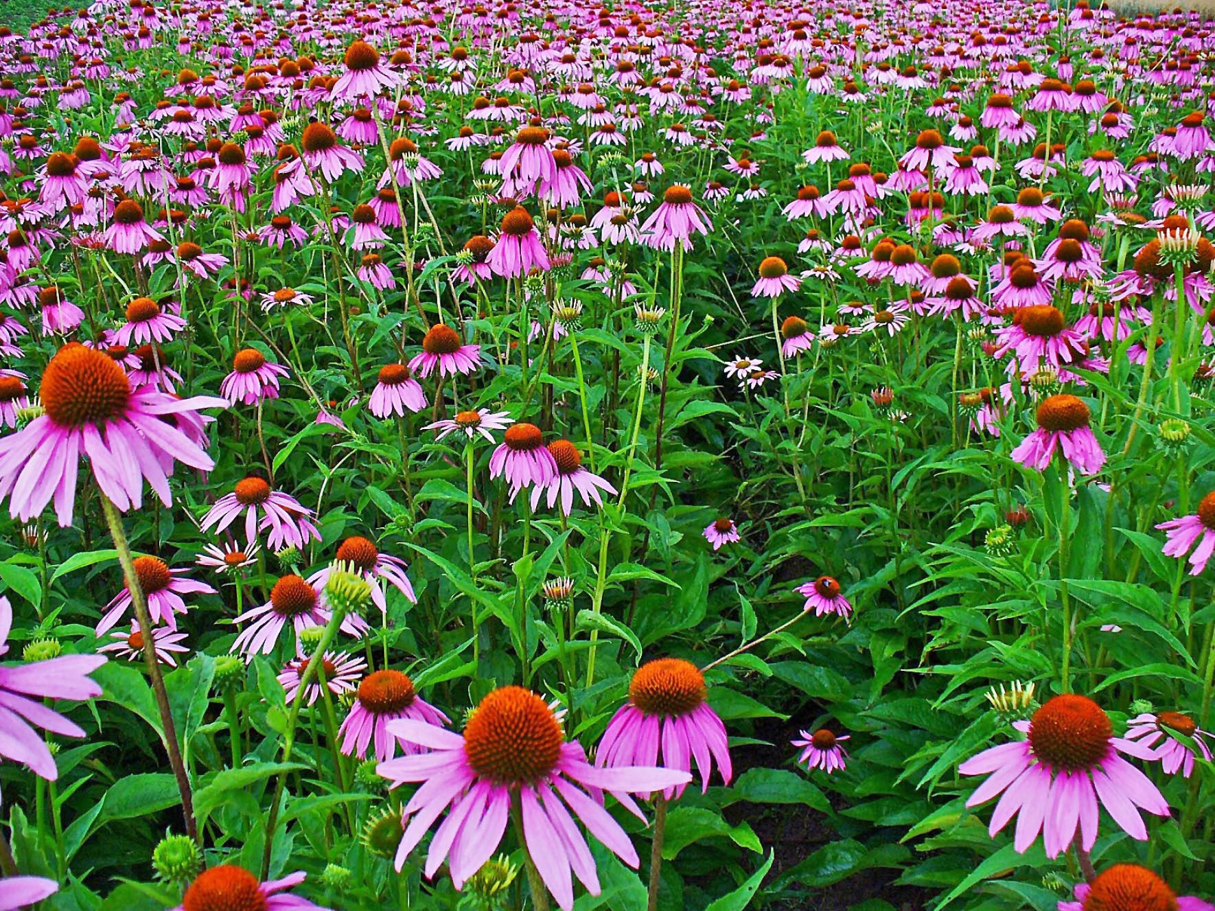 Ku researchers book explores history of native plains healer echinacea purpurea thrives in the midwest and has a long history of medicinal use izmirmasajfo Gallery