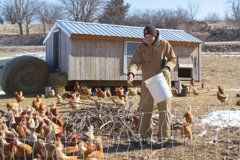 Laying hens flock to oats a farmer tosses to them in Marion County, Iowa.