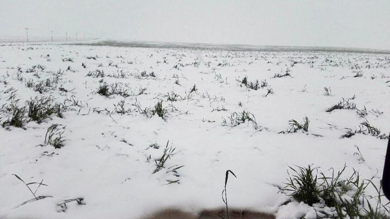 A wheat field in southwest Kansas, which saw wheat stalks standing about two-feet-high before the storm, is covered in snow.