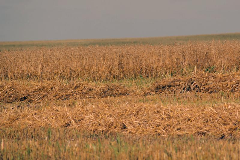 A study that received funding from the Leopold Center demonstrated that including small grains, such as the oats pictured here in 2016, in field rotations can reduce the need for chemical inputs.