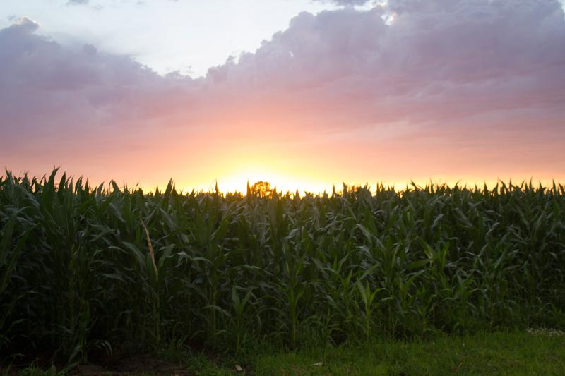 Corn yields could drop 7 percent globally for every 1 degree Celsius rise in global temperature, according to a recent study.