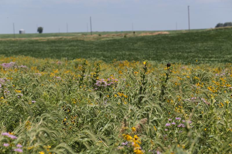 Emerging prairie strips on Iowa farms.